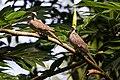 Two Spotted Doves in Sri Lanka 02.jpg