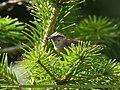 Tytler's Leaf Warbler (Phylloscopus tytleri) (35549522544).jpg