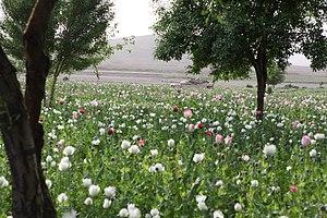 Opium production in Afghanistan - Opium poppy field in Gostan valley, Nimruz Province, Afghanistan