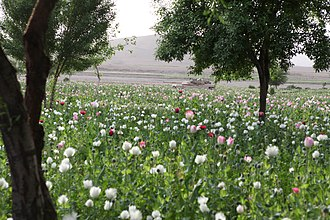 Opium production in Afghanistan - Opium poppy field in Gostan valley, Nimruz Province, Afghanistan