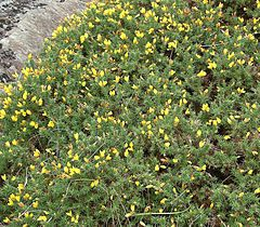 Ulex gallii bush.jpg