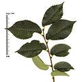 Ulmus pumila leaves and buds.jpg