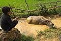 Un buffle gardé par un enfant (Nord Vietnam).jpg