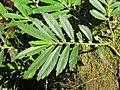 Unidentified Elatostema species from Parambikulam (2).jpg