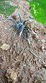 Unidentified spider from Koovery-05.jpg