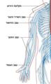 Upper limb Nervous system diagram heb.PNG