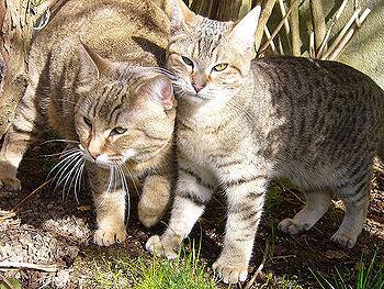 gatos duendecillo pelo corto