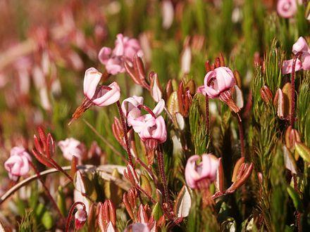 Schefflera arboricola - WikiVisually
