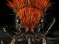 Velvet Ant, F, Face, Hot Springs Village, AR 2015-08-20-16.34.50 ZS PMax UDR (21462541422).jpg