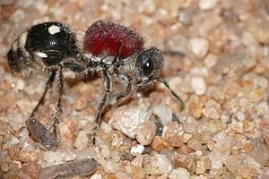 Müllerian mimicry - The largest mimicry complex contains 65 species of North American velvet ants in the genus Dasymutilla.