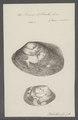 Venus litterata - - Print - Iconographia Zoologica - Special Collections University of Amsterdam - UBAINV0274 077 12 0032.tif