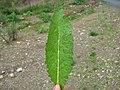 Verbascum virgatum leaf1 (16191470340).jpg