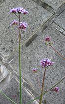 Verbena bonariensis5.jpg