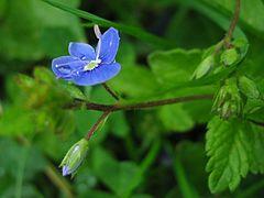 Veronica chamaedrys bluete.jpeg