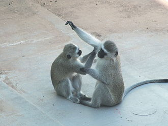Vervet monkey - A vervet monkey grooms another in Gaborone, Botswana