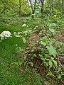 Viburnum lantana (geograph 6455529).jpg
