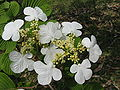 Viburnum plicatum var tomentosum1.jpg