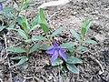 Vinca herbacea sl4.jpg