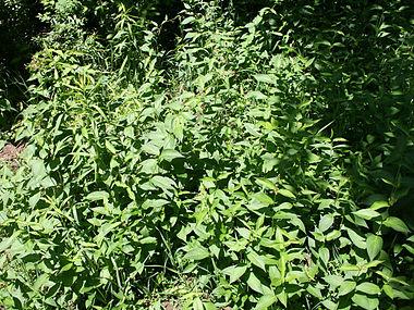Vincetoxicum rossicum SCA-5137.jpg