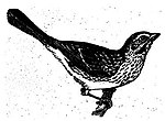 Vintage Bird Drawing.jpg
