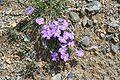 Viola cenisia04072006 2.JPG