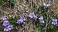 Violets - geograph.org.uk - 415231.jpg