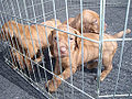 Vizsla puppies cage.jpg