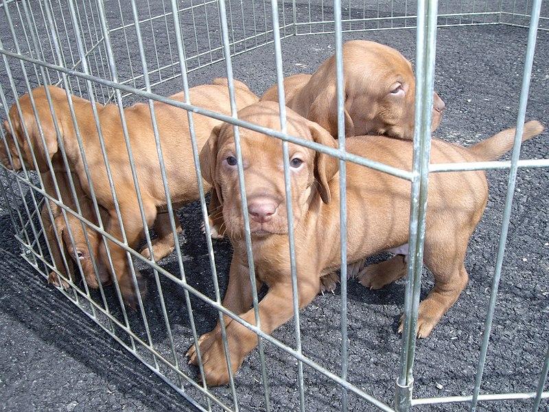 File:Vizsla puppies cage.jpg