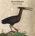Waldrapp Konrad Gessner.png