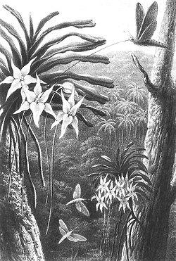 Dessin d'Alfred Wallace de 1867 (bien avant la découverte du sphinx de Wallace!) montrant un papillon inconnu, à la trompe très longue, pollinisant une orchidée de Darwin