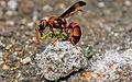 Wasp feeding its prey 1.jpg