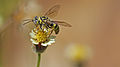 Wasp nectar.jpg