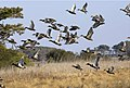 Waterfowl flying over wetland at Chincoteague National Wildlife Refuge (VA) (4565761863).jpg