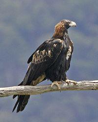 Wedge-tailed Eagle (Aquila audax) 3