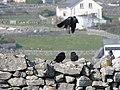 Western Jackdaws on Inisheer (flying).jpg