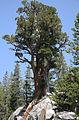 Western juniper Juniperus occidentalis on rock.jpg