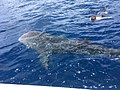 Whale shark in Koh Chang.jpg