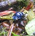What beetle is this.jpg