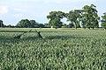 Wheat field at Little Saxham - geograph.org.uk - 832174.jpg