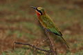 White-fronted Bee-eater, Merops bullockoides - experiments with light and shadow (13962388966).jpg