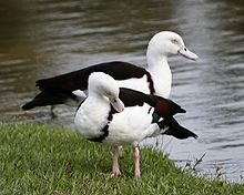 White-headed Shelduck (Tadorna radjah radjah) pair.jpg