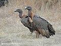 White-rumped vulture (Gyps bengalensis) Pair 2 Photograph by Shantanu Kuveskar.jpg