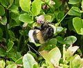 White-tailed Bublebee. Bombus lucorum - Flickr - gailhampshire.jpg
