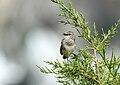 White-tailed Rubythroat (Luscinia pectoralis) (26339694299).jpg