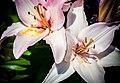 White Lilies Close-up View PLT-FL-LY-4.jpg