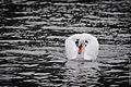 White Swan (13975542948).jpg
