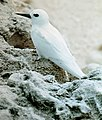 White tern 1.jpg