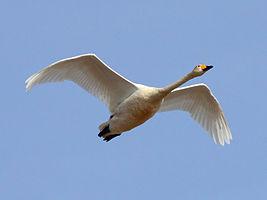 Whooper Swan (Cygnus cygnus) (26).jpg