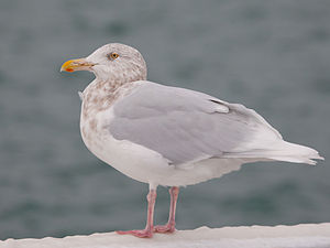 Glaucous gull - Adult plumage