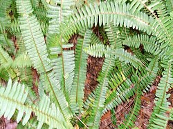 Nephrolepis exaltata wikipedia for Non toxic ferns